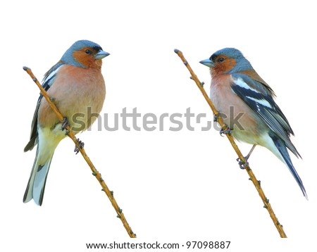 spring finch on a branch - stock photo