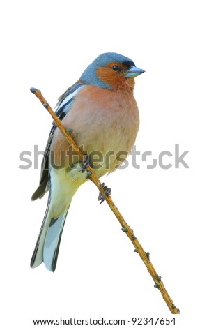 spring finch on a branch , white isolated