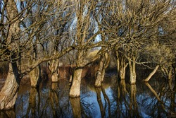 Spring flood at the willow grove. Floodplain city park and flooded willows growing in the meadow reflected in water in early spring. Especially long tree branch. Beautiful landscape