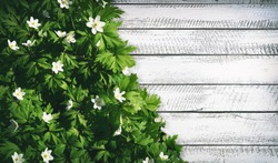 Spring floral background. Green border of white forest flowers primrose in nature and old wooden light rustic boards in vintage style. Texture of fresh forest greenery, copy space.