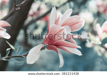 Spring floral background with magnolia flowers.For this photo applied toning effect.