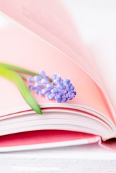 Spring flower blue muscari or grape hyacinth on the pink pages of the book, vertical