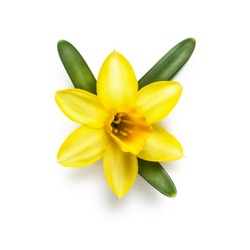 Spring flower head of small yellow daffodil isolated on white background. Clipping path included