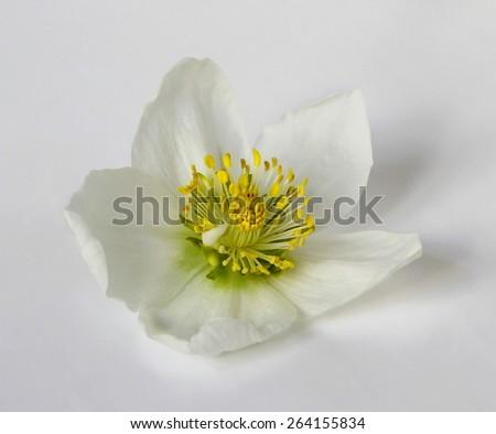 Spring flower hellebore. Head of spring flower Helleborus niger. Also called Christmas rose, Lenten rose, Black Hellebore, Winter rose. Blooms in late winter and early spring.