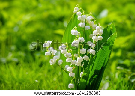 Spring flower lily of the valley. Lily of the valley. Flower Spring Sun White Green Background Horizontal. Ecological background Blooming lily of the valley green grass background in the sunlight.