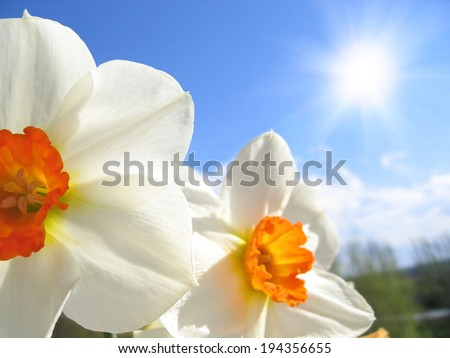 Spring flower - narcissus on the background of sky and clouds