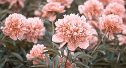 Spring flower pink peonies bloom on background of blurry pink peonies in flowering garden.