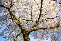 Spring flower tree with white flowers and branch full of flowers with blossom