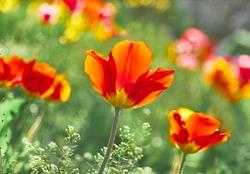Spring flower tulips blooming in tulips garden.