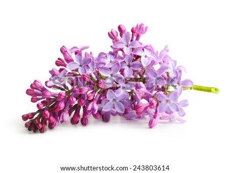 Spring flower, twig purple lilac. Syringa vulgaris.