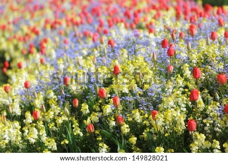 Spring flowerbed of tulips, forget-me-not and snapdragon