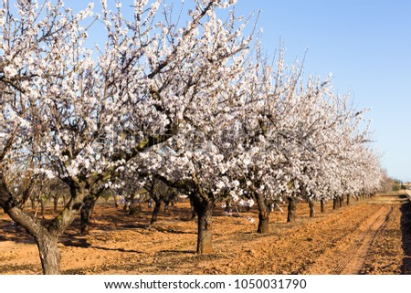 Spring, flowering and nature concept - beautiful almond flowers