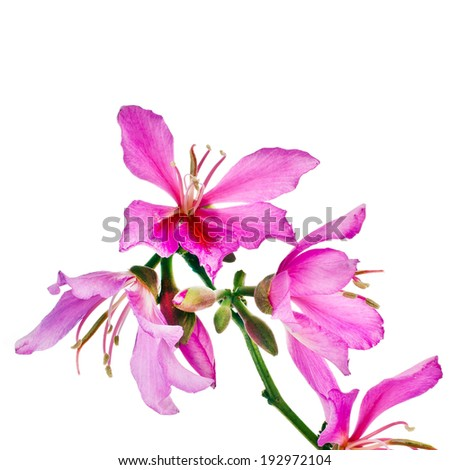 Spring flowering branches pink flowers no leaves isolated on white background