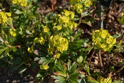 Spring Flowering Bright Yellow Flower Head of a Wood Spurge or Mrs Robb's Bonnet Plant (Euphorbia amygdaloides var. robbiae)  Growing in a Garden in Rural Devon, England, UK