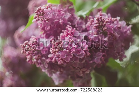 Spring Flowering Bushes Of The City Branches Of Lilac Purple