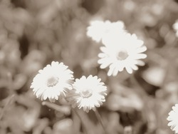 Spring flowering. Daisies in a field, blurred background. Sepia photo, vintage atmosphere.