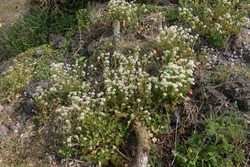 Spring Flowering Danish Scurveygrass (Cochlearia danica) Growing Amongst a Pile of Rubble on Wasteland in Rural Devon, England, UK