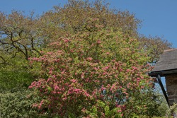 Spring Flowering Deciduous Double Pink Hawthorn Tree (Crataegus laevigata 'Rosea Flore Pleno') with a Bright Blue Sky Background in a Garden in Rural Devon, England, UK