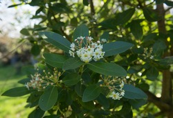 Spring Flowering Evergreen Winter's Bark or Canelo Tree (Drimys winteri var. Andica) Growing in a Woodland Garden in Rural Devon, England, UK