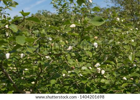 Magnolia Sieboldii Images And Stock Photos Avopixcom