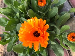spring flowering marigold. young leaves. fresh greens. The beauty of the spring garden. spring flowering gardens.A flower bed of bright, fragrant, beautiful, orange, luxuriantly blooming