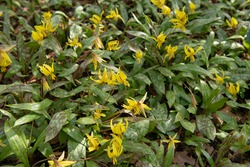 Spring Flowering Yellow Flowers of the Dimpled Trout Lily Plant (Erythronium umbilicatum) Growing in a Garden in Rural Devon, England, UK