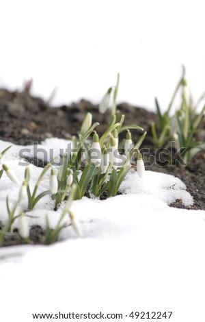 spring flowers - stock photo