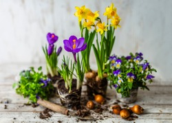 Spring flowers and flower bulbs to plant in pots.