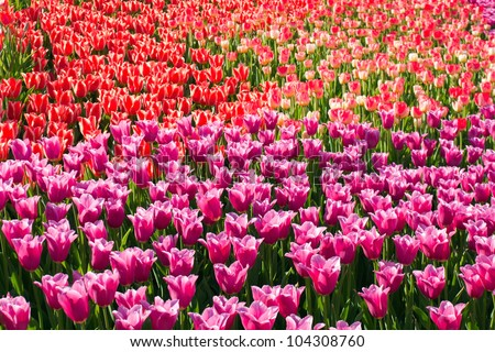 Molly bloom spring bloom on spring flowers bloom field of tulips stock photo 104308760 mightylinksfo