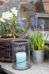 spring flowers blue muscari flowers, white hellebores and glass lantern with blue candle in the garden - spring decoration in the garden