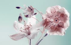 spring flowers . buds closeup, white petals.