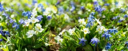 Spring flowers. Bunch of blooming white primrose or primula flowers in a garden