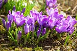 Spring flowers. Bunch of purple crocus flowers in a garden