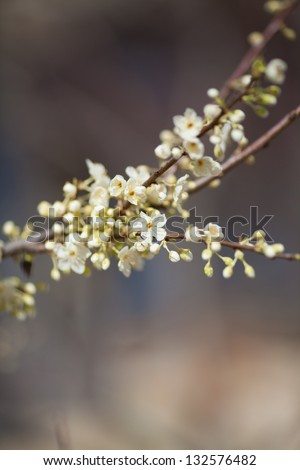 Spring flowers Cherry blossom sakura. Spring blooming sakura cherry flowers branch. Fresh blooming apricot or plump flowers outdoors. Nature and spring concept. Blooming tree in spring in park