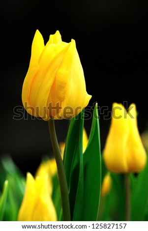 spring flowers, colorful tulips