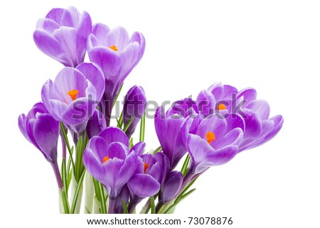 spring flowers, crocus, isolated on white - stock photo