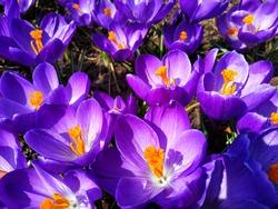 Spring flowers crocuses of purple color