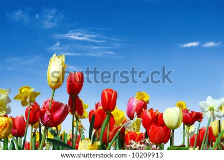 Spring flowers, e.g. tulips and daffodils in the blue sky background
