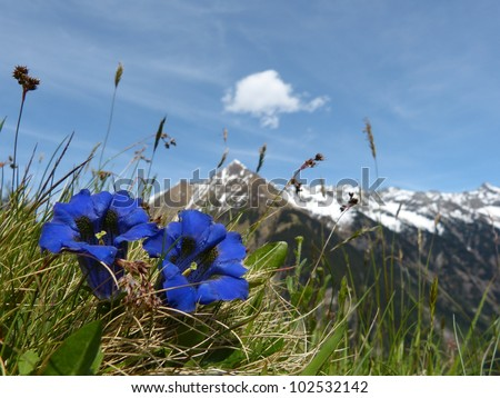 Spring flowers Gentian - stock photo