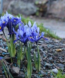 Spring flowers. Iiris. Plants of the Iris family bloom in the mountains, among stones