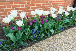 Spring flowers in a border in a garden, tulips and muscari flower bulbs in bloom, UK