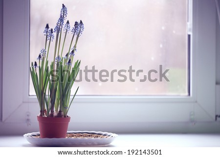 spring flowers in a pot on the window