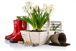Spring flowers in basket with garden tools peat pot with soil. Bunch white hyacinth. Gardening flower-growing, isolated on background.