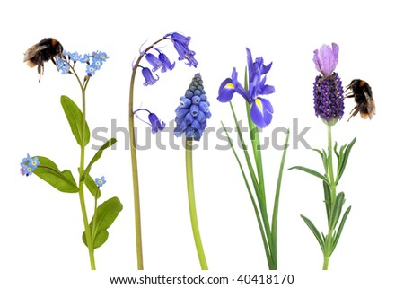 Spring flowers in blue, with two bumble bees gathering pollen, over white background. - stock photo