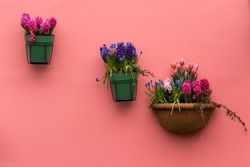 Spring flowers in flowerpots hanging on the pink house wall. Spring background with tulips, muscari, hyacinths.