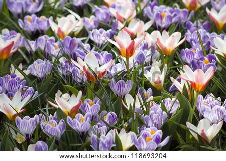 spring flowers in Keukenhof, Netherlands