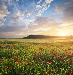 Spring flowers in meadow at sunset. Poppy and rapeseed field. Beautiful landscapes.