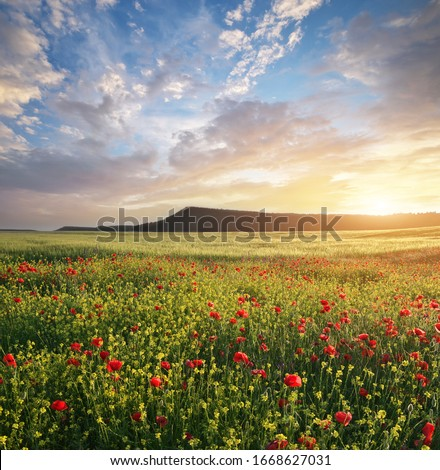 Spring flowers in meadow at sunset. Poppy and rapeseed field. Beautiful landscapes. Stock foto ©