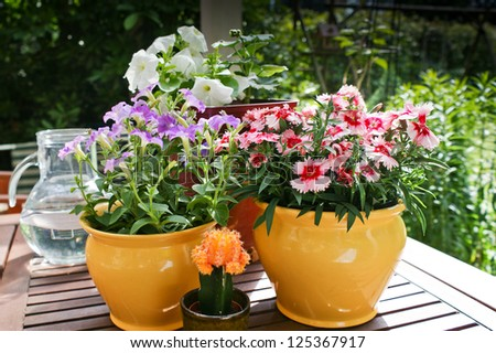 Spring flowers in pots-dianthus and petunias on a garden table.