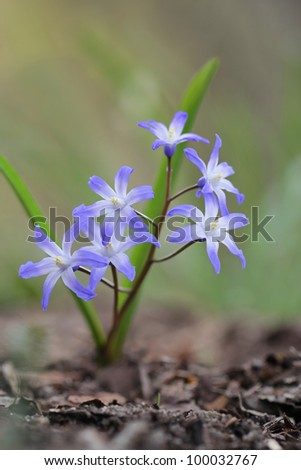 Spring flowers in the forest -  glory-of-the-snow (Chionodoxa luciliae)